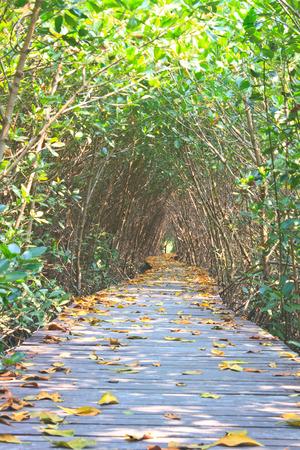boardwalk trail: Wooden bridge in mangrove forest, in Thailand