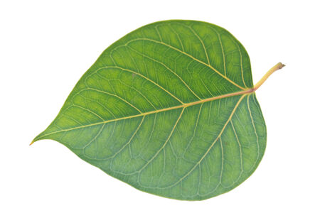 Sacred Fig leaf, isolated on a white background        photo