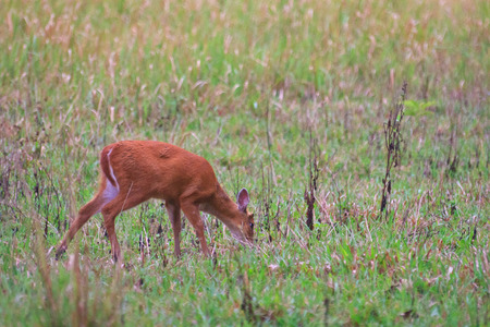 Barking deer or Muntiacus muntjak in a field of grass  Stock Photo