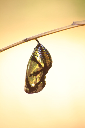 beautiful Monarch chrysalis (Danaus plexippus) hanging on branch Stock Photo