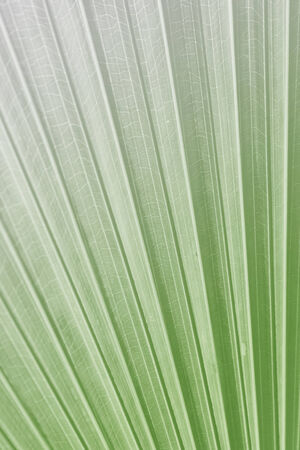 monotone: Sugar palm leaf, Texture of Green palm Leaf on softlight monotone