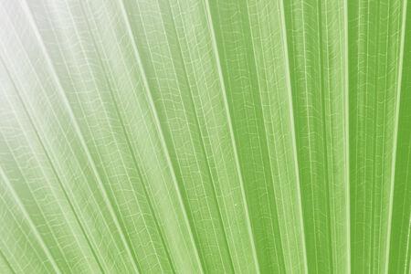 Sugar palm leaf, Texture of Green palm Leaf on softlight monotone photo