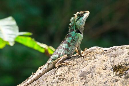 lagartija: Lagarto con cresta verde, cara negro lagarto, lagarto �rbol Foto de archivo