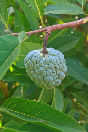 Custard apples or Sugar apples  growing on a tree in garden, Thailand.  Stock Photo