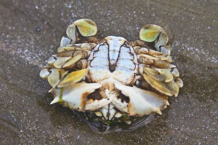 pinchers: close up crab on a background of sand
