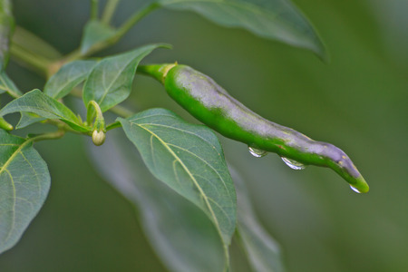 Fresh chillies growing in the vegetable garden with drop water  photo