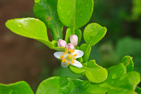 Flower of bergamot fruits on tree in garden photo