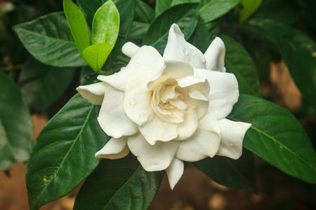 beautiful Gardenia jasminoides flower on tree in garden photo