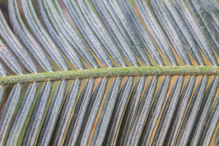 cycadaceae: abstract background and texture beautiful green cycad leaf