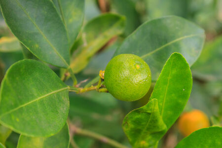 Lemons on tree in farm, agriculture in Thailand photo