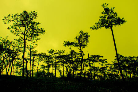 pine tree forest in national park, sunset with black pines silhouette photo