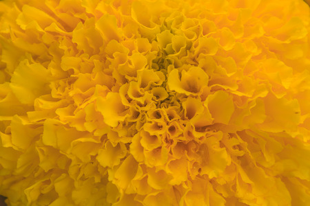 Marigold  flowers field, summer in garden Thailand     photo