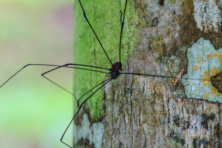 daddy long legs: Harvestman spider or daddy longlegs close up on tree in forest Stock Photo