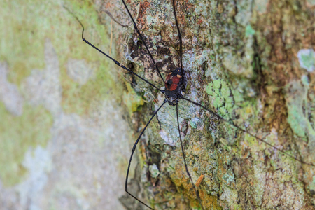 Harvestman spider or daddy longlegs close up on tree in forest photo