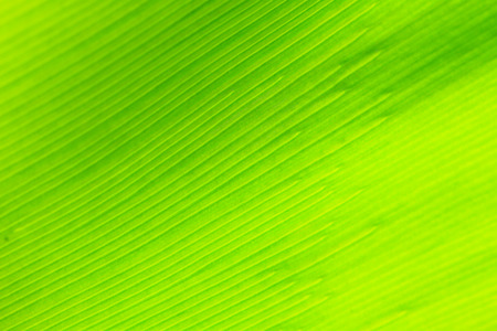 abstract background of Birds nest fern leaf  photo