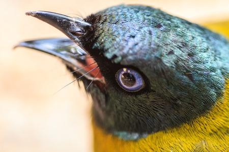 prin: Bulbul Negro con cabeza, Pycnonotus atriceps en la naturaleza Foto de archivo