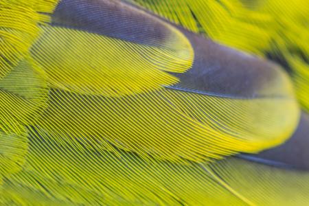 prin: pluma de Bulbul Negro encabezados, atriceps Pycnonotus de cerca Foto de archivo