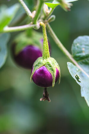 gastronomic: fresh vegetable eggplant on tree in garden