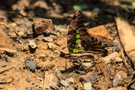 brownish: Beautiful Butterfly on ground in a forest