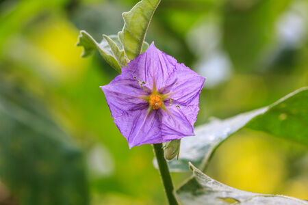 submissiveness: eggplant flowers blooming in nature with beautiful green bokeh background