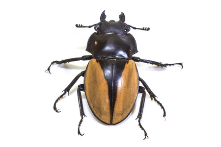 insect, beetle, bug, in genus Odontolabis on white background photo