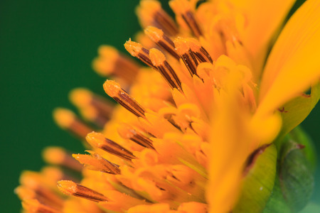 close up Mexican Sunflower Weed in garden, summer Thailand photo