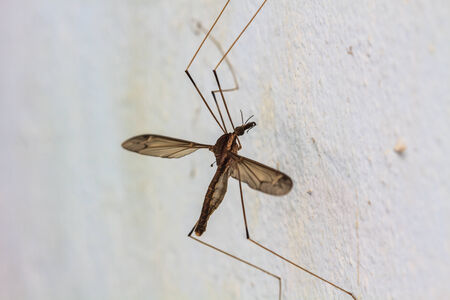 longlegs: insect daddy longlegs close up  in forest Stock Photo