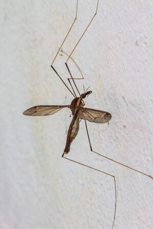 daddy long legs: insect daddy longlegs close up  in forest Stock Photo