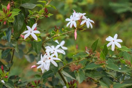 tree jasmine: White Jasmine flowers on tree in garden
