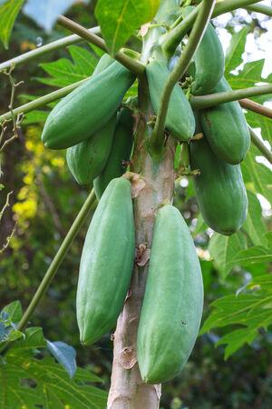 close up papaya fruit on the tree photo