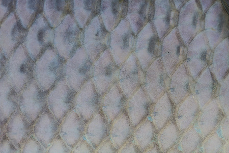 marinelife: Scales of fresh water fish close up Stock Photo