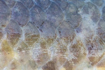 fresh water fish: Scales of fresh water fish close up Stock Photo