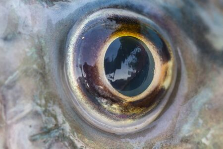 rutilus: Fish Eye Close Up of fresh water fish