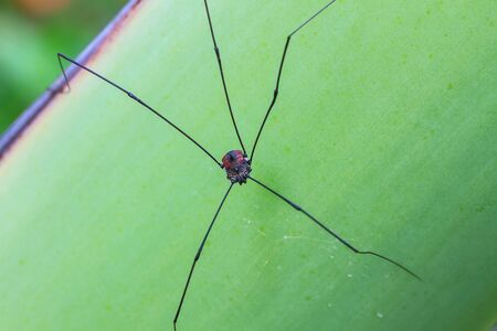 harvestman: Harvestman spider or daddy longlegs close up on tree in forest Stock Photo