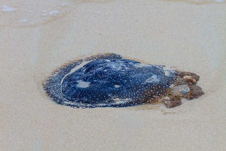 stranded: Jellyfish Stranded dead on the sand Beach.