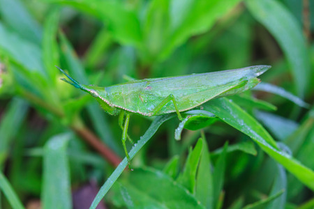 caelifera: insect on leaf, Grasshopper perching on a leaf Stock Photo