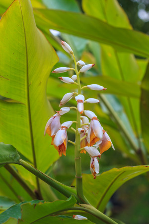 ginger flower plant: colorful Shell ginger flower in garden, Ginger Plant Blossom