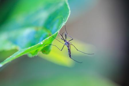 Mug op groen blad, Mosquito hangen op blad in de macro