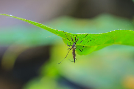 Mosquito on green leaf,Mosquito hang on leaf in macro Standard-Bild