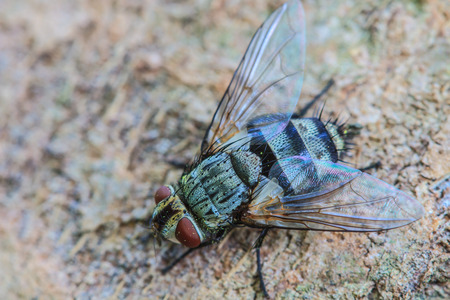 carrion: close up Blow fly, carrion fly, bluebottles, greenbottles, or cluster fly