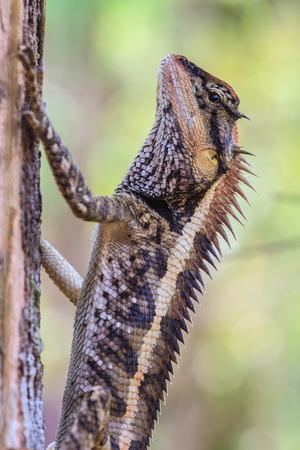 lagartija: Mayor lagarto espinoso, Acanthosaura armata, negro con cara de lagarto, lagarto espinoso enmascarado, lagarto árbol