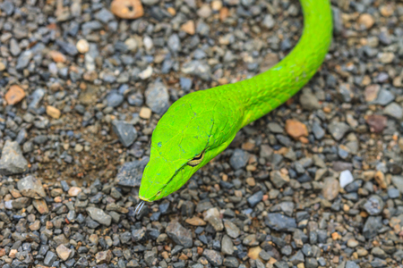 prasina: Oriental Whipsnake or Asian Vine Snake (Ahaetulla prasina) Stock Photo