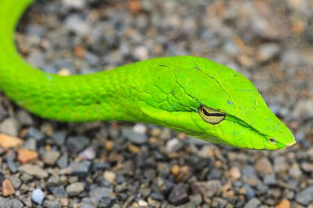 Oriental Whipsnake or Asian Vine Snake (Ahaetulla prasina) photo