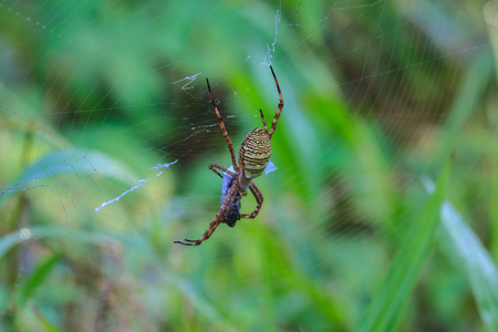bruennichi: multicolored Spider with Prey - wasp spider Argiope bruennichi