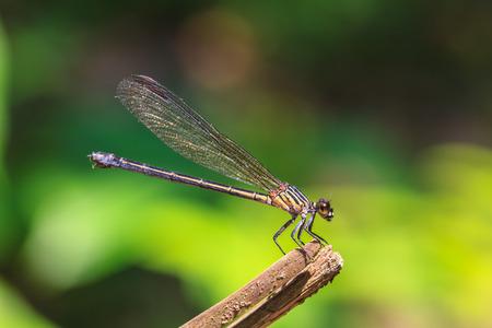 bella libellula di riposo su un ramo nella foresta