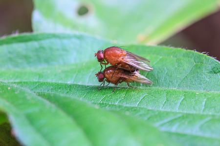 breeding: close up breeding Blow fly on leaf