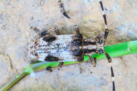 longhorn beetle: insect from Thailand, longhorn beetle in Genus Batocera Stock Photo