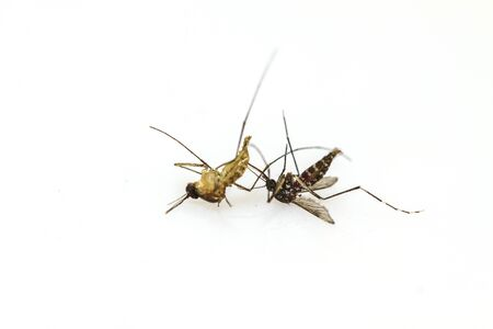 Dead mosquito lie-down on white background close up photo