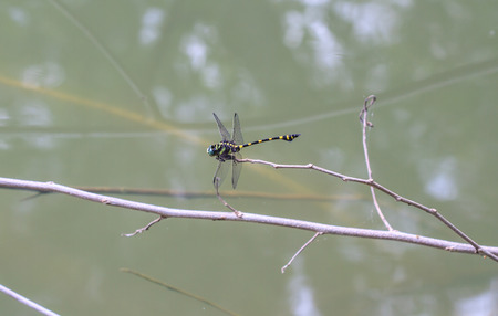 purae: Tiger Dragonfly on branch in tropical forest