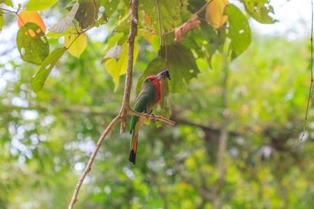 prin: Abejaruco de barba roja, barba roja pájaro posado en el árbol